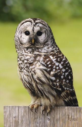 Barred Owl © Bob Belhouse