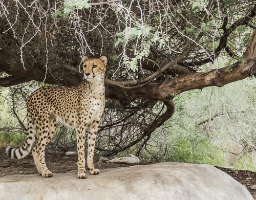 Cheetah on Sentry © Betty Todd