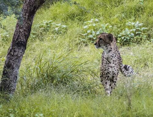 Cheetah Watching © Betty Todd