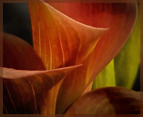 Calla Lily © Bob Belhouse