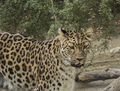 Serene Leopard © Betty Todd