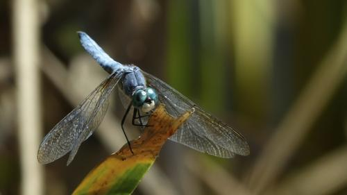 Blue Dasher © Erika Nadon