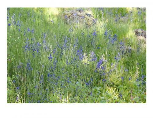 Camas Flowers Growing Wild © Ted McLean