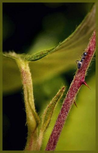 Blackberry Stem © Bob Belhouse