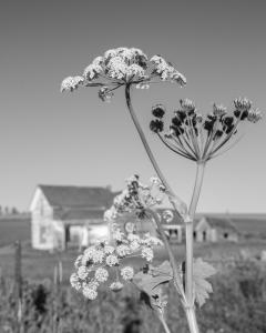 Queen Anne's Lace © Brian Clemens