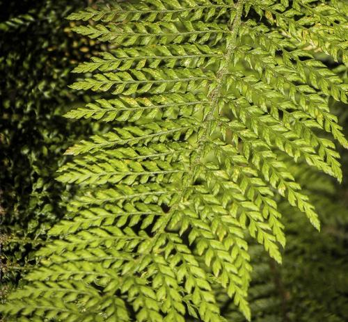 Fern Leaf © Betty Todd