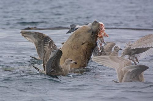 Sea Lion Supper © Bruce Whittington
