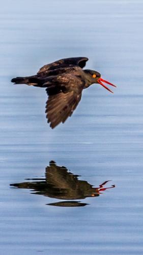 Oyster Catcher © Terry Jones
