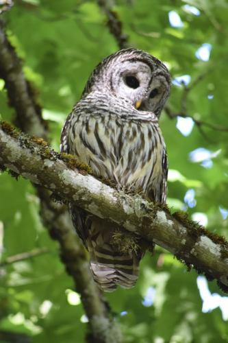 Barred Owl © Katherine Banman