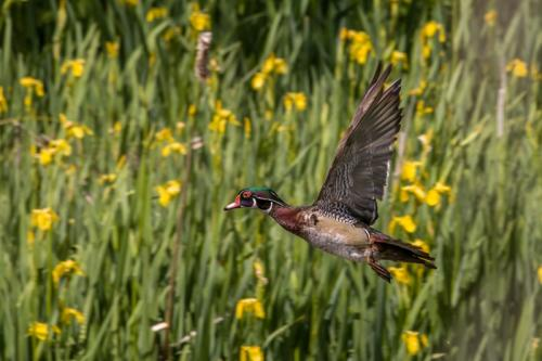 Wood Duck © Terry Jones