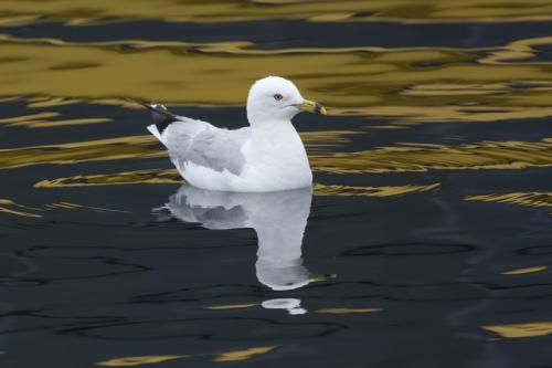 Ring-billed Gull © Bruce Whittington