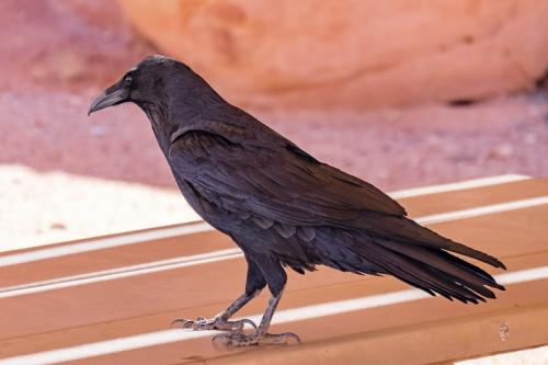 Raven – Valley of Fire © Sue Williams