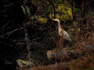 BACKYARD WILDLIFE © Bob Belhouse