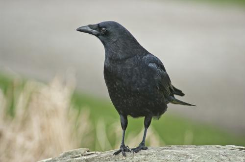 A Dublin Crow © Sue Williams