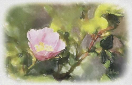 Wild Rose © Bob Belhouse