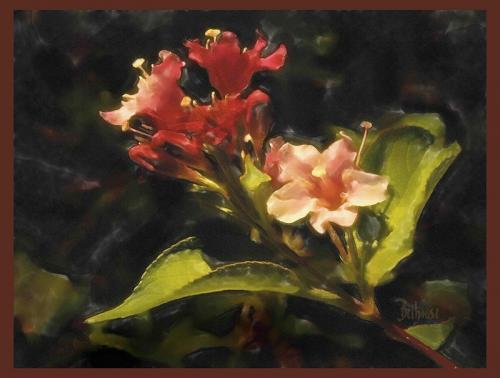 Weigelia © Bob Belhouse