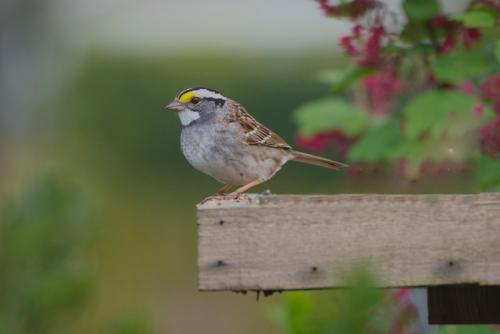 White Throated Sparrow © Bruce Whittington