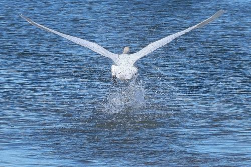Estuary Swan Take Off © Sue Williams