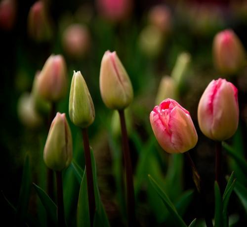 Tulips © Pat Haugen