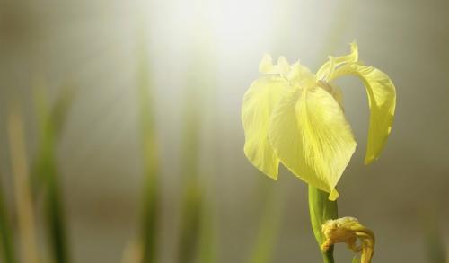 Sun Bright Iris © Pat Haugen