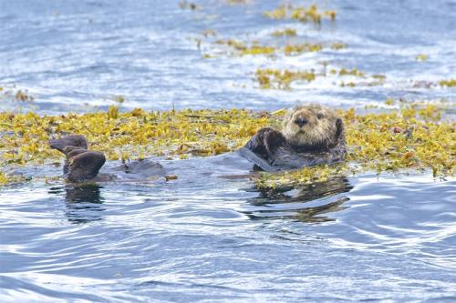 Sea Otter © Bruce Whittington