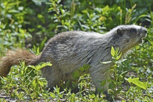 Marmot Visit © Lindsey Woods