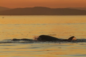 Orca Sunset © Brian Clemens