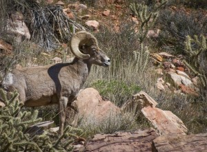 Red Rock Canyon Big Horn Sheep © Charlie Schaal