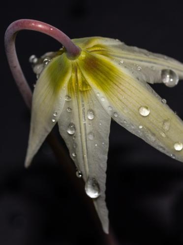 Trillium © Terry Jones