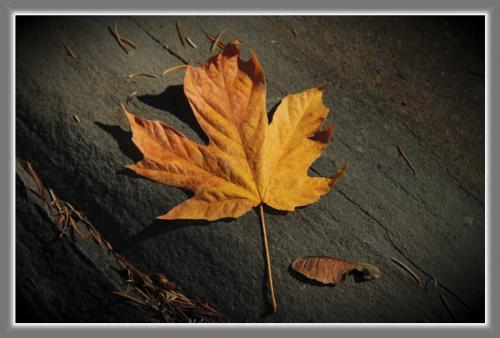 Autumn Maple © Art Jurisson