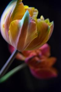 Tulips 1 – 2 © Sue Williams