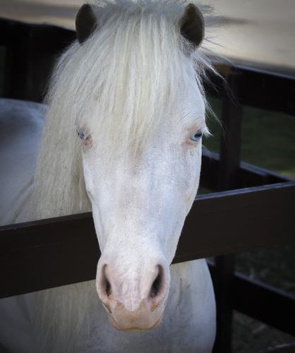 Albino Pony © Betty Todd