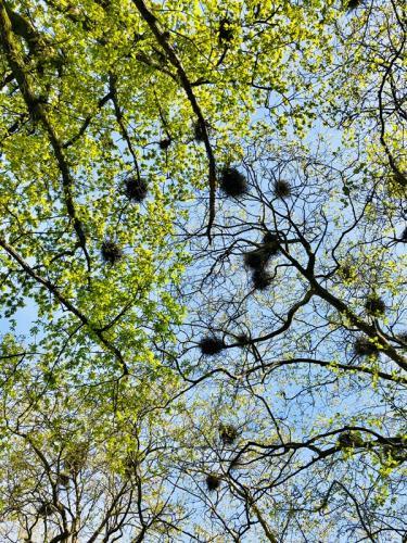 Heron nests, Stanley Park, Vancouver © Linda McBride