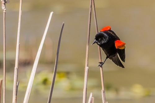 Red-winged Blackbird 1 © Terry Jones
