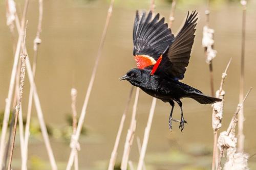 Red-winged Blackbird 2 © Terry Jones