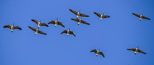 Cow Bay Geese 1 © Terry Jones